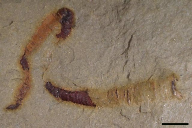 Tracto digestivo fósil