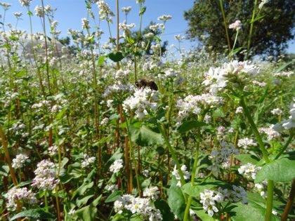 Junta publica una guía sobre el cultivo de trigo sarraceno, un producto cada vez más demandado