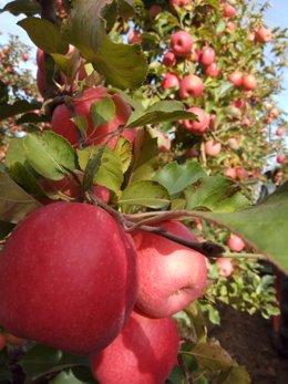 Economía.- Las manzanas Pink Lady cierran 2019 con una cosecha récord de 10.000