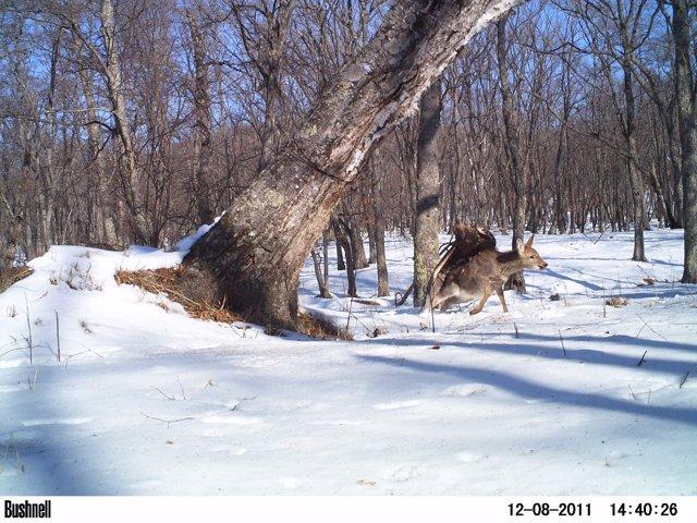 Imagen de una cámara trampa de 2011 de un águila atacando un ciervo