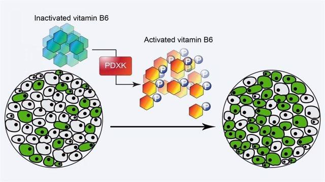 La enzima PDXK maneja la actividad de la B6, activándola cuando llega el momento de que las células se dividan. En la LMA, las células cancerosas (verdes) pueden aprovechar esto, aumentando rápidamente su número.