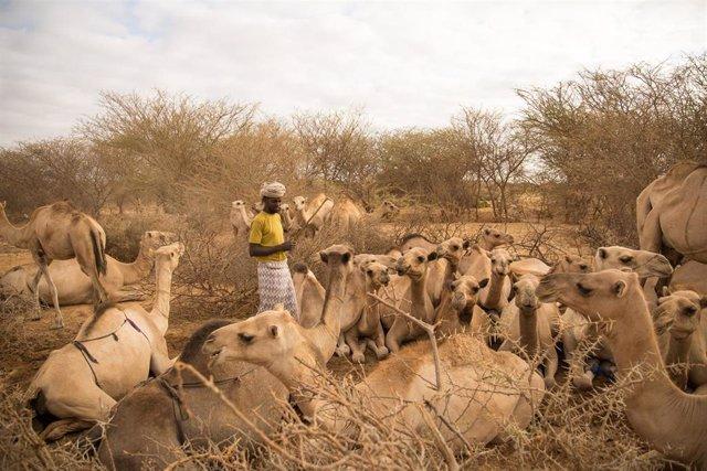 Un pastor con sus camellos en Somalia