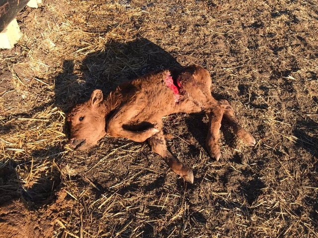 UPA denuncia un ataque de lobos en Ávila y la muerte del único ternero que queda