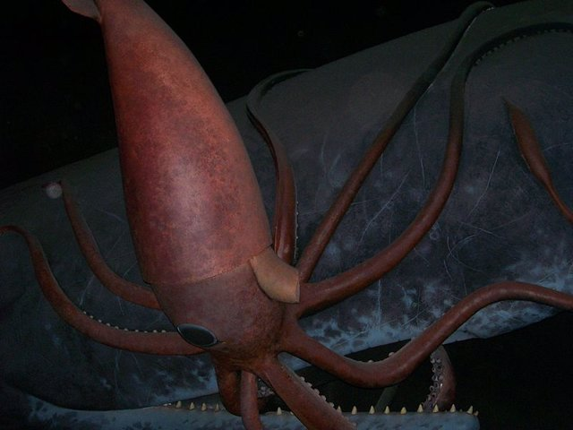 Secuenciado el genoma del esquivo calamar gigante