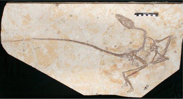Esqueleto de Wulong bohaiensis.