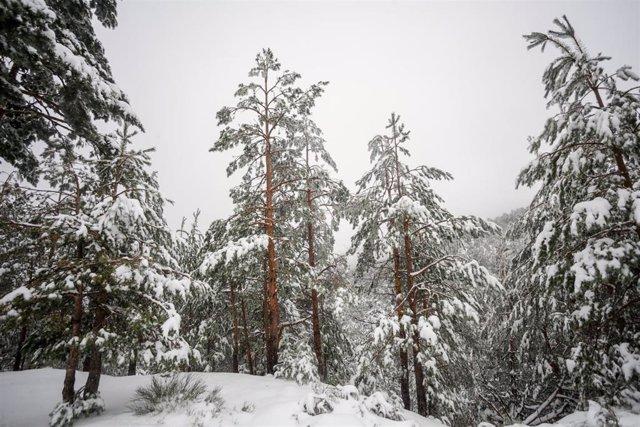Paisaje de pinos cubiertos de nieve durante el temporal de nieve en la Sierra de Madrid, en el Puerto de Navacerrada (Madrid) a 16 de noviembre de 2019.