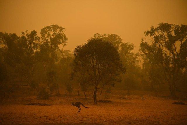 Un cangur travessa una regió afectada pels incendis prop de Canberra, Austrlia.