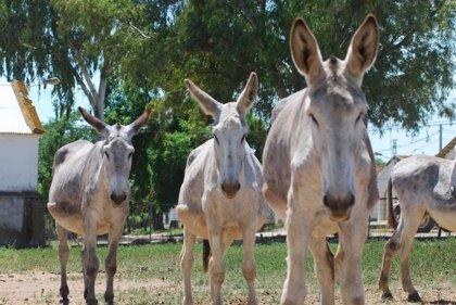 El Centro de Selección y Reproducción Animal de Extremadura adjudica ocho burros de raza andaluza en una subasta