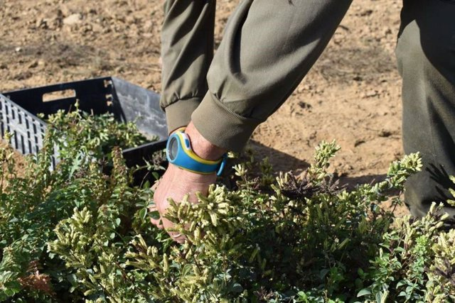 Cultivo de orégano
