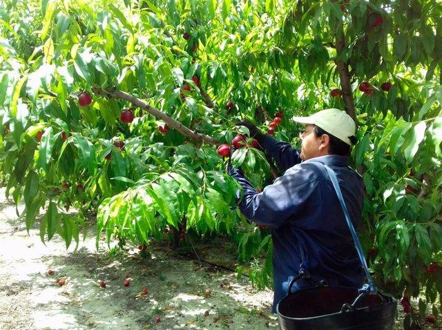 Recogida de fruta en Badajoz