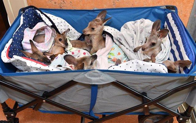 Canguros rescatados durante los incendios en Australia
