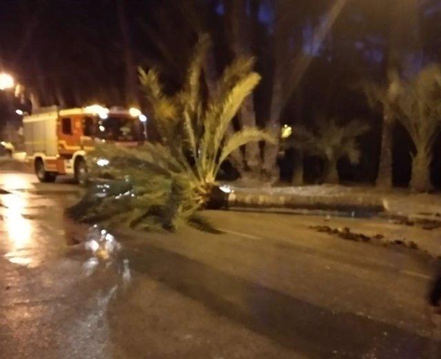 Una palmera caída en Orihuela.