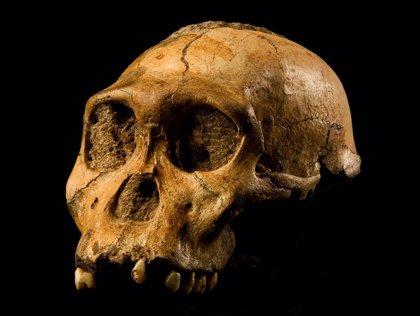 Ancestros humanos masticaban cáscaras y tubérculos sin daño dental