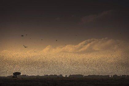 """La FAO alerta de que la plaga de langosta en África oriental es ya una amenaza """"de dimensión internacional"""""""