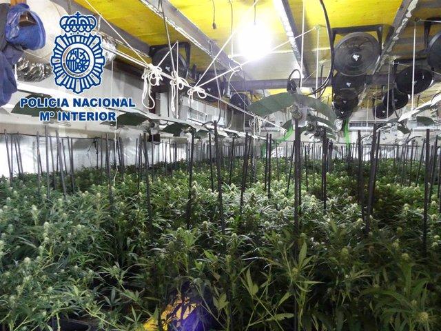 Plantación de marihuana desmantelada en Arcos de la Frontera