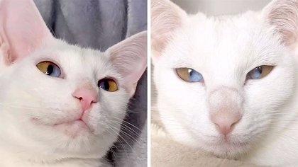 Esta gata tiene una mirada única: Cada uno de sus ojos son mitad verde, mitad azules
