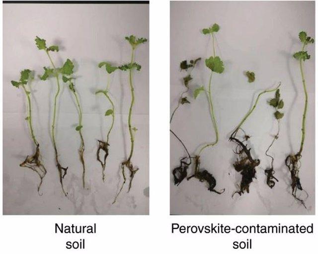 Plantas sometidas a suelo contaminación por perovskita a la derecha