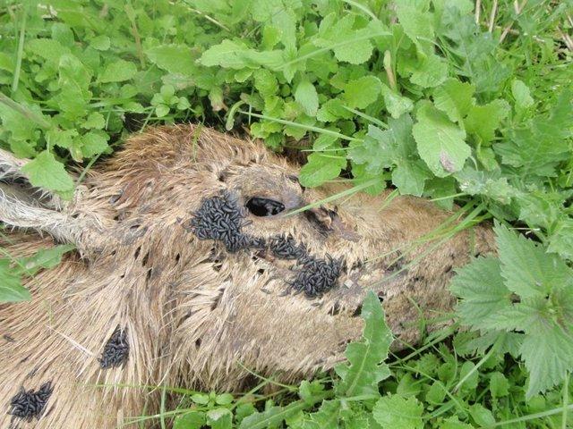 Cadáver en descomposición de ciervo rojo