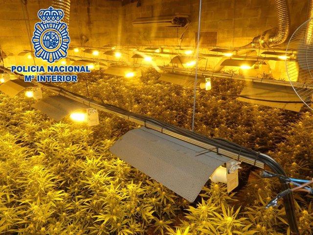 Plantación de marihuana localizada por la Policía Nacional en Chiclana de la Frontera