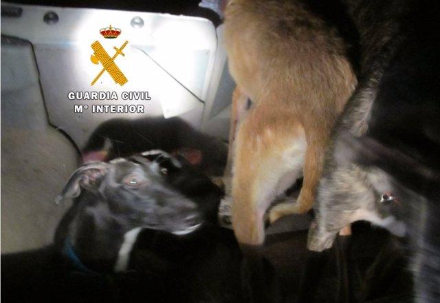 Piezas intervenidas a los furtivos mientras cazaban de forma ilegal en la comarca de Peñafiel.