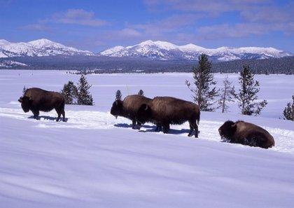 Proponen salvar el permafrost con una masa de grandes herbívoros