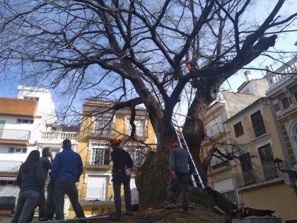Especialistas comprueban el estado del olmo centenario de Navajas, mejor árbol de España 2019
