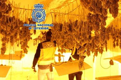 Detenido tras desmantelar un cultivo de 500 plantas de marihuana en una vivienda de La Guardia (Jaén)