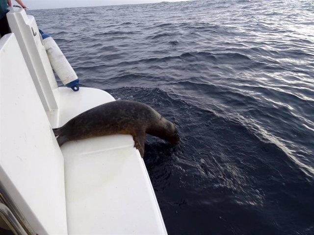 Reintroducción de la foca gris encontrada en noviembre en la costa asturiana.