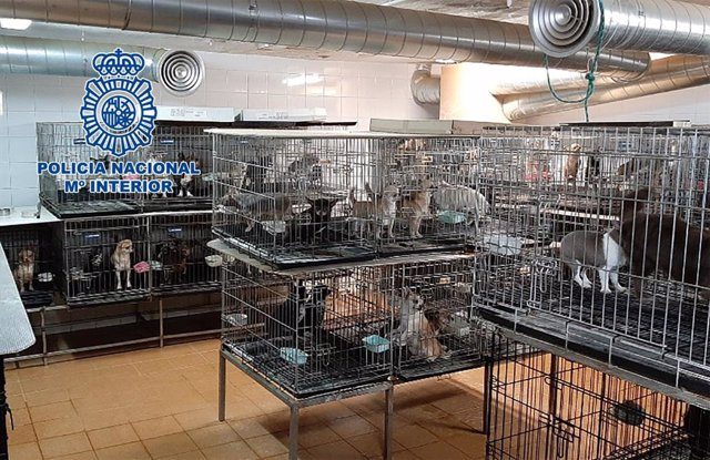 Criaderos ilegales de chihuahuas