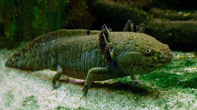 El gran genoma de una salamandra y el secreto de la regeneración