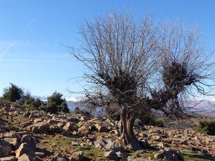 El parque cultural del chopo cabecero, en Teruel, lanza una campaña para mostrar su naturaleza, paisaje y patrimonio