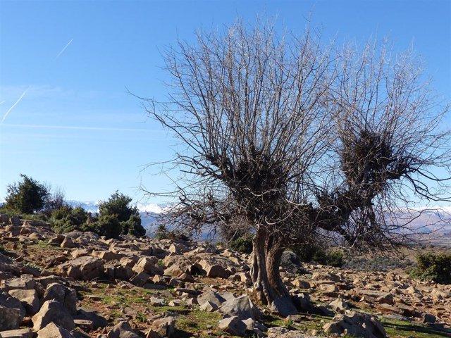 Ejemplar de chopo cabecero en la provincia de Teruel.