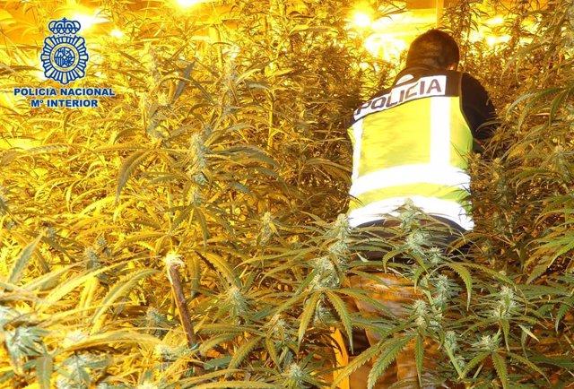 Plantación de marihuana incautada por la Guardia Civil.