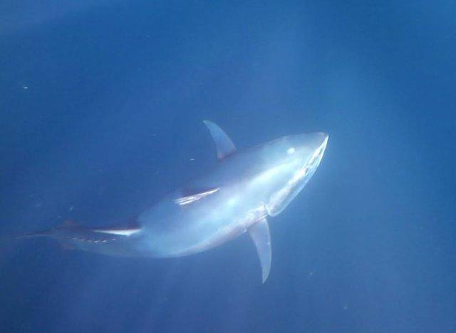 Sondeos para determinar presencia atún rojo en Golfo de Bizkaia