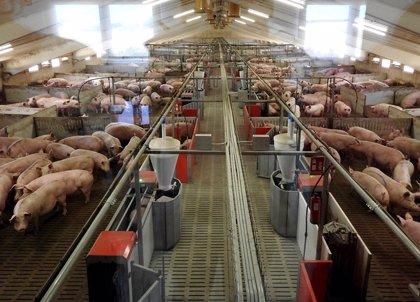 Un estudio liderado por la UBU concluye que la carne de cerdo de España tiene bajo riesgo de transmisión de hepatitis E