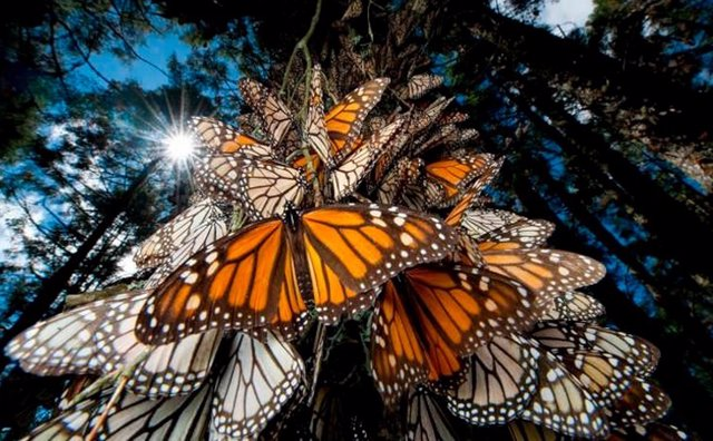 México.- Asesinado otro activista defensor de la mariposa monarca en México