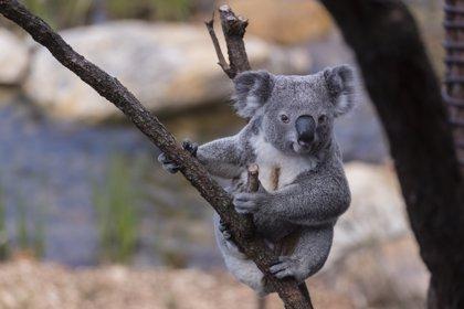 Las autoridades australianas investigan la matanza de más de 80 de koalas en una tala de eucaliptos