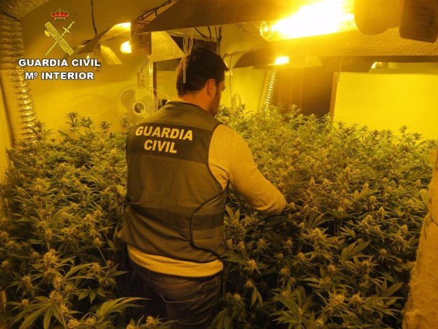 Plantación de marihuana en Alcolecha