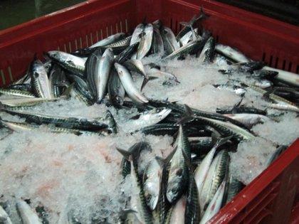 Los pescadores cántabros iniciarán la costera del verdel a final de mes o principios de marzo