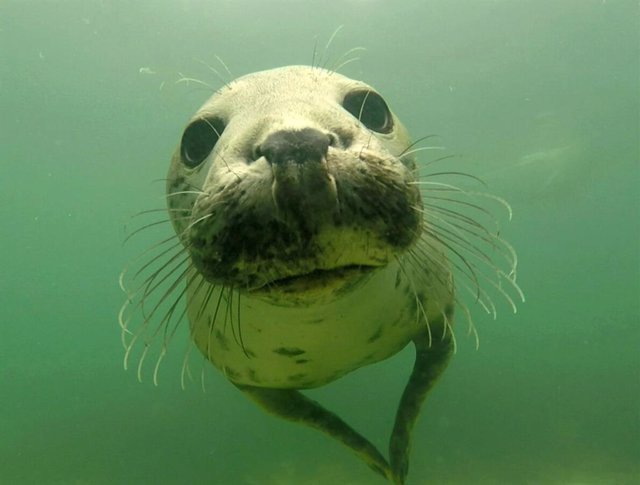 Las focas también 'aplauden' bajo el agua para comunicarse