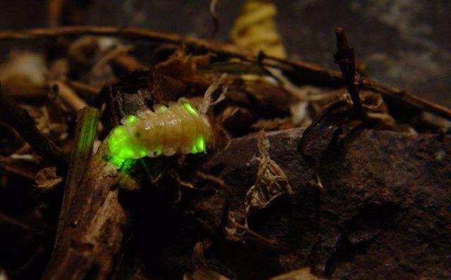 La contaminación lumínica amenaza de extinción a las luciérnagas