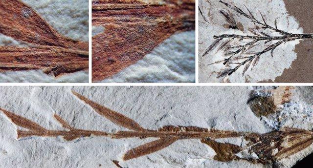 El bambú más antiguo conocido se reclasifica como conífera
