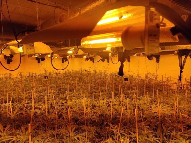 Plantación de cannabis santiva en Sanlúcar de Barrameda