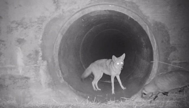 La curiosa imagen de un coyote alentando a un tejón a atravesar juntos un túnel bajo una autopista en California