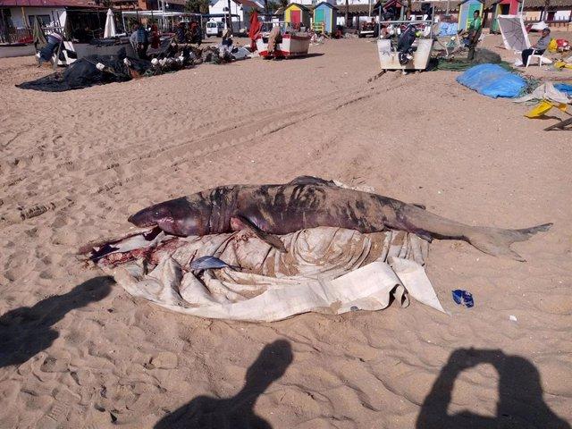 Tiburón hallado en una playa de La Antilla, en Lepe (Huelva).
