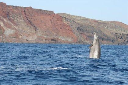 Un estudio concluye que el miedo a las orcas extrema la sincronización del buceo de los zifios