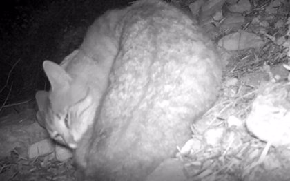 Un estudio sobre biodiversidad del Ayuntamiento de Elche y la UMH descubre al gato montés en el entorno del pantano