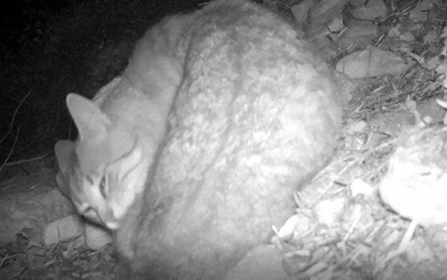 Un ejemplar de gato montés localizado en el entorno del pantano.