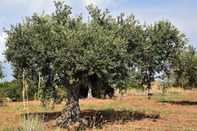 Economía/Agricultura.- Agroseguro abona más de 21,5 millones por los siniestros del olivar de 2019