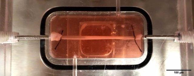 Un vaso sanguíneo diseñado con músculo liso y endotelio cultivado a partir de muestras de piel de un paciente mientras fluyen los fluidos.